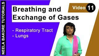 Breathing and Exchange of Gases - Respiratory - Tract Lungs