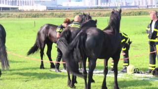 Paard met benen vast in hekwerk