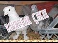 yavrular Çikti hamster kaplumbaĞa hİnt bÜlbÜlÜ muhabbet kuŞu
