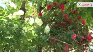 Gülün çok çiçek açması için neler yapılabilir