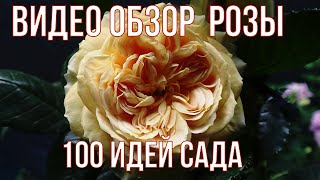 Видео обзор розы 100 идей сада - 100 Idees Jardin.Golden Zes Dr. Keith W. Zary США 2005