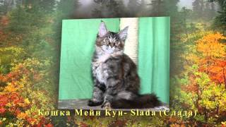 Котята Мейн кун осень 2013г.
