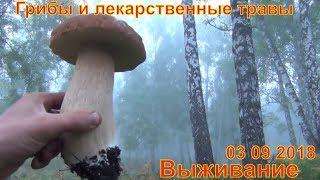 Грибы и лекарственные травы 03 09 2018 Белый гриб выживание Сбор грибов тихая охота рыжики тайга лес