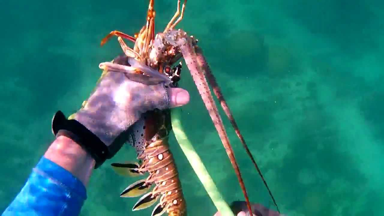 Discussion on this topic: How to Safely Free Dive for Lobster, how-to-safely-free-dive-for-lobster/
