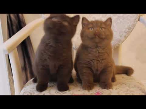 Beautiful Lavender Cats | FunnyCat TV