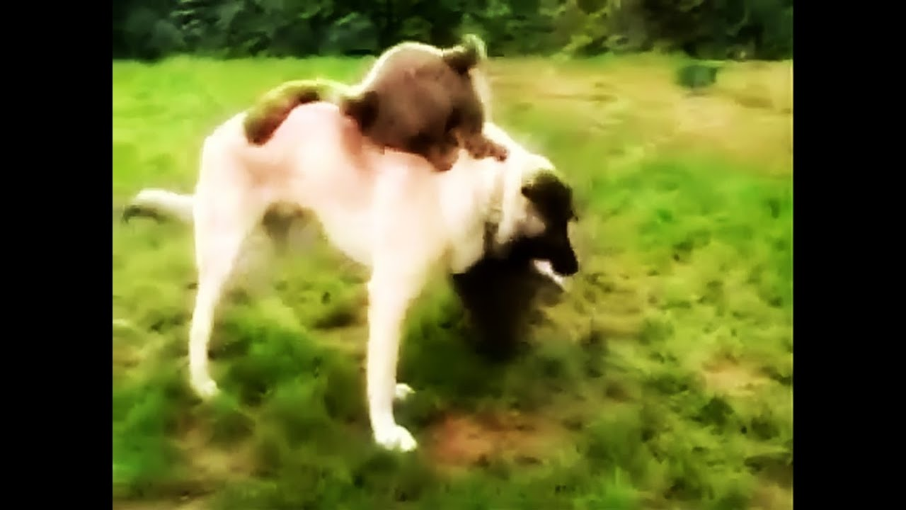 turkish dog kangal fighting with bear youtube. Black Bedroom Furniture Sets. Home Design Ideas