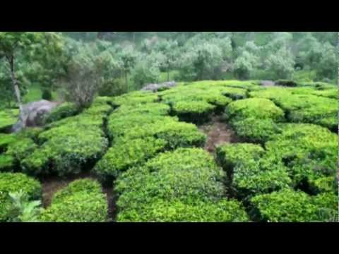 Tea Plantation, Munnar, Kerala India