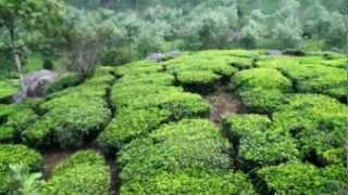 Tea Plantation, Munnar, Kerala India
