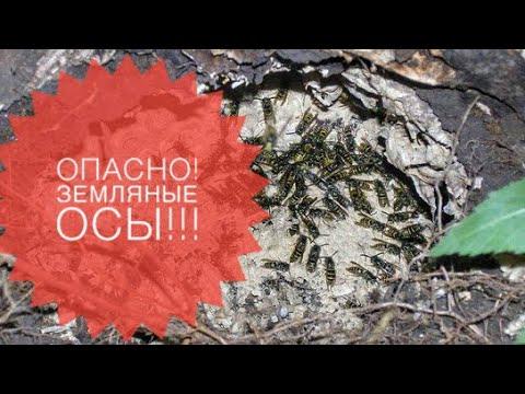 Земляные осы!Опасные насекомые на участке и как с ними бороться!