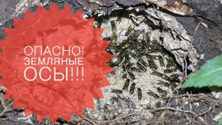 видео Земляные осы на даче: как избавиться от гнезда
