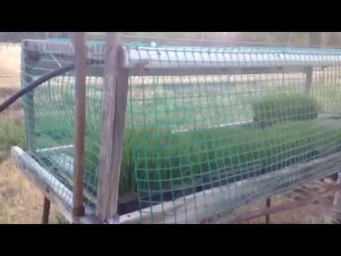 My wheatgrass operation. Peter Radu