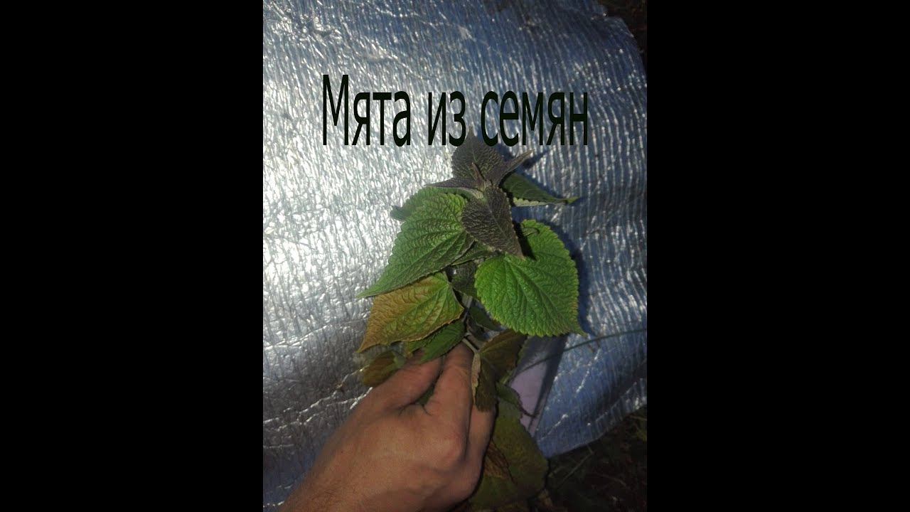 сколько растет мята из семян