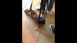 How To Teach A Paralyzed Dachshund To Walk Again