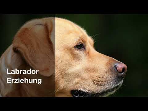 labrador-erziehung---die-7-besten-tipps-🐶