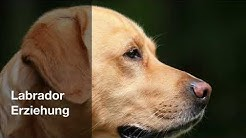 Labrador Erziehung - die 7 besten Tipps 🐶