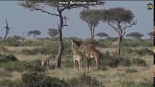 ~ Zwierzęta Afryki :  ŻYRAFY ~  Safari   14/11/2018