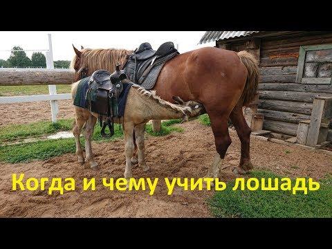 В каком возрасте и чему мы учим жеребят
