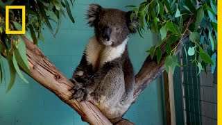 The Future of Koalas | National Geographic