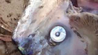 Sea Monster Found In California - Video Worldwide Fishing Club News