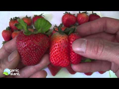 Organic strawberries, conventional strawberries and pesticides 3-14-2014 | Organic Slant