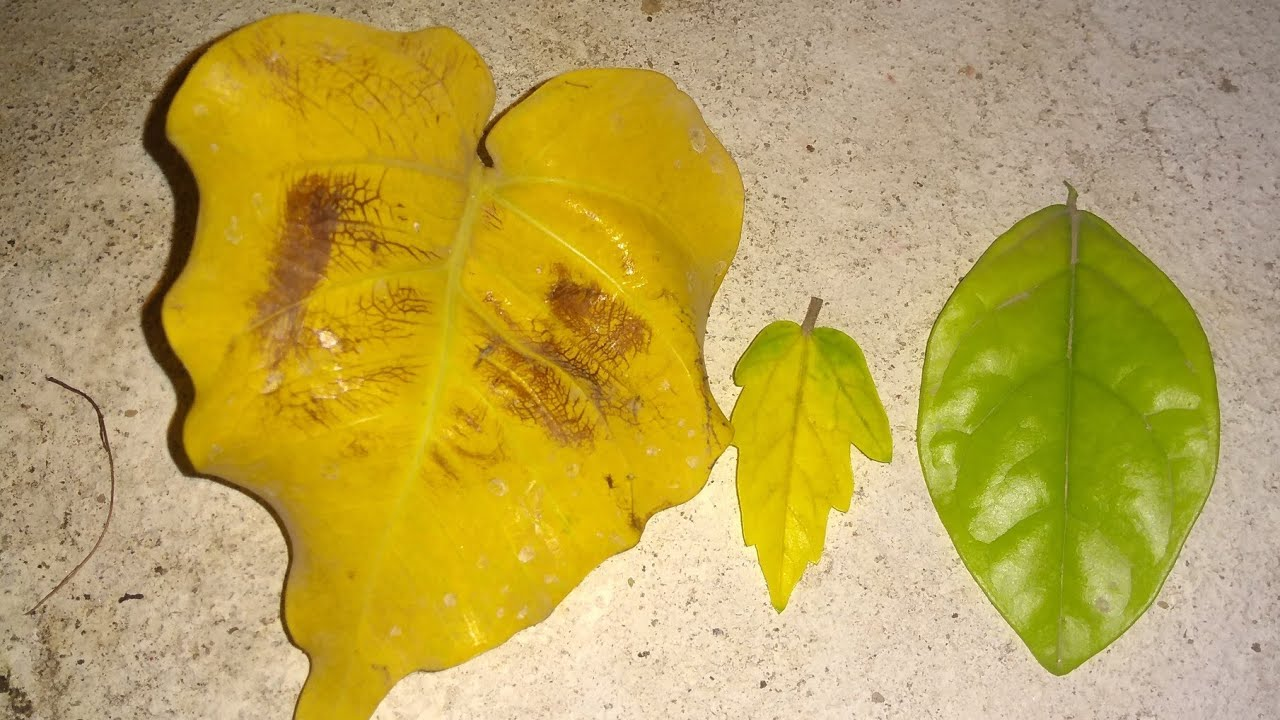 Yellowing Leaves 3 Types Remedies And Reasons Youtube