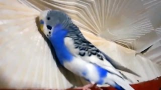 Говорящий волнистый попугай Кеша. Волнистик говорит