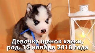Предлагаем щенка хаски девочку, родилась 12 ноября 2018 года