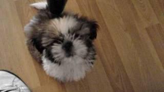 Puppy Shih Tzu Howls Like A Little Wolf Lol