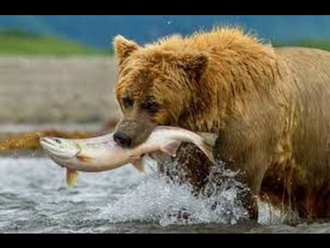 Brown Bears animal documentary
