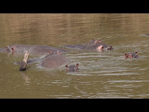Hippos and the Mara River