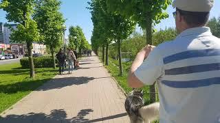 Маламут Путя гуляет по Питеру