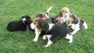 Debonair Beagle Pups 5wks Old
