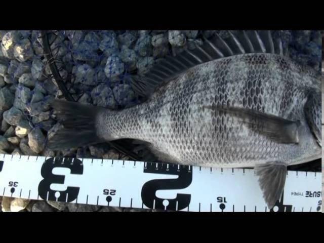 Not difficult, black sea bream fishing in Japan. THE OTOSHIKOMI