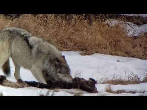 Yellowstone Mollie Pack gray wolf  #2