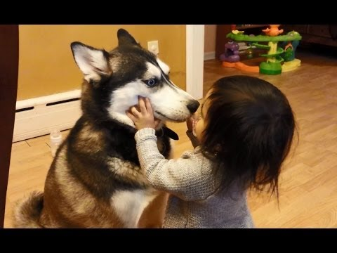 Baby Makes Friends With Siberian Husky Dog