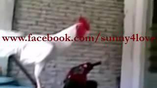 Pakistani Murga Cock