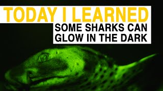 TIL: Some Sharks Can Glow In The Dark