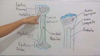 Gambar cover Estructura ósea