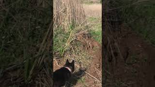 Dog Vs coyote encounter