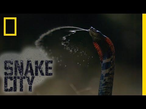 Spitting Mad Cobra | Snake City