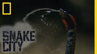 Spitting Mad Cobra | Snake City
