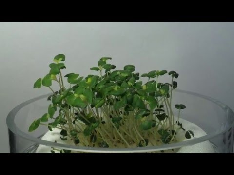 Chia - sprouting, 8 days in 2:22, 5400 x time lapse