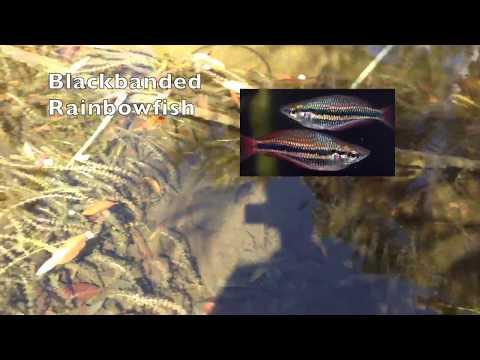 Australian Native RAINBOWFISH Ecosystems