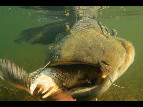 Pesce Siluro Mangia Carpa In Slow Motion By Catfishing World