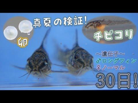 【毎日記録】青コリの卵からの生後1カ月までの記録だぜ!♂ロングフィン×♀ノーマル。品種はコリドラス・パレアタス!【ふぶきテトラ】