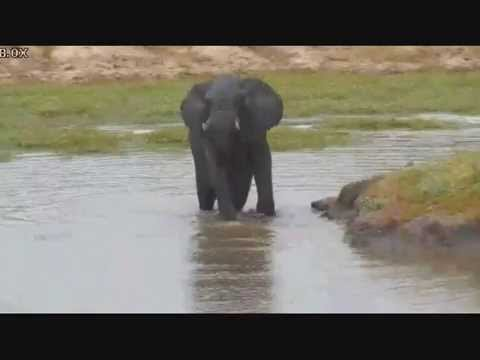 Bull Elephant having a swim and bath at Arathusa  02 22 2015