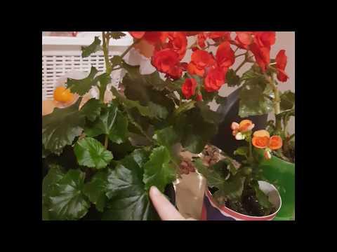 Бегония элатиор. Размножение листами и черенками