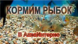 Corydoras sp. (C066) купить в СПб