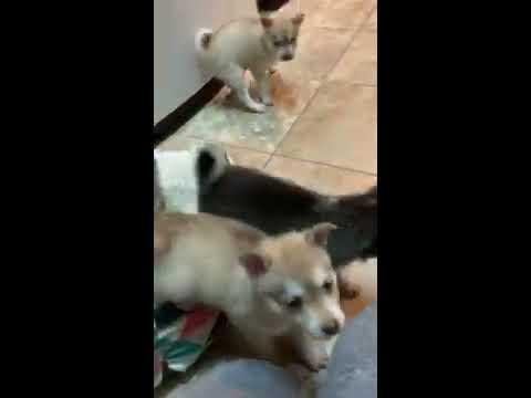 Cute Alaskan Klee Kai AKK puppies all day, every day!