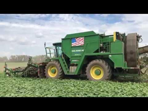 Cucumber Harvest in 4K!